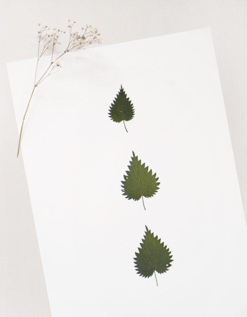Herbier alliaire - affiche A3 décorée de feuilles délicates d'alliaire • Création naturelle, herbier unique à encadrer / atelier 23janvier