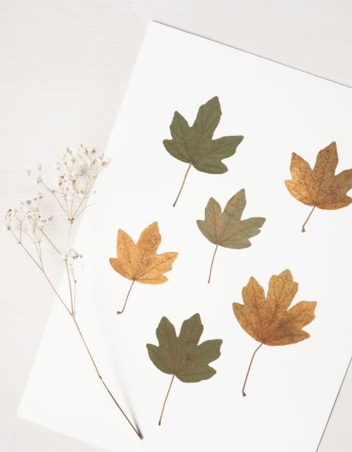 Herbier érable champêtre - affiche décorée de feuilles d'érable • Herbier unique, invitation à découvrir les détails subtils du monde végétal