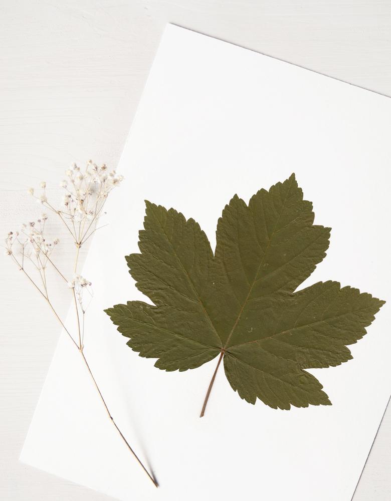 Herbier érable sycomore - affiche A4 décorée d'une feuille d'érable • Herbier unique, créé dans le sud-ouest de la France par 23janvier