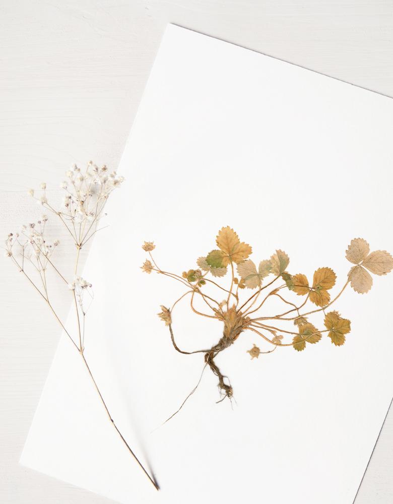 Herbier fraisier des bois - affiche A4 décorée d'un pied de fraisier sauvage • Invitation à découvrir les détails subtils du monde végétal