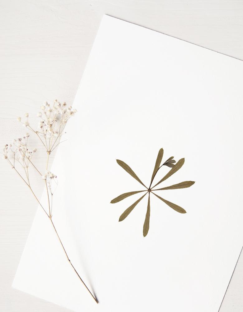 Herbier gaillet gratteron - affiche A4 décorée d'une fleur sauvage • Herbier floral unique créé dans le sud-ouest par 23janvier → e-shop