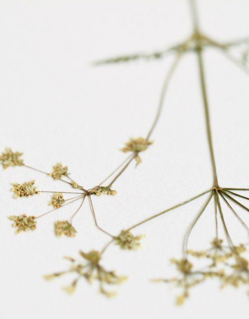 Herbier persil sauvage - affiche A4 décorée d'une fleur de persil • Herbier unique, création florale délicate / Créé dans le sud-ouest par 23janvier