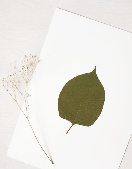 Herbier Renouée du Japon - affiche A4 décorée d'une feuille de renouée • Herbier unique, invitation à découvrir les détails du monde végétal