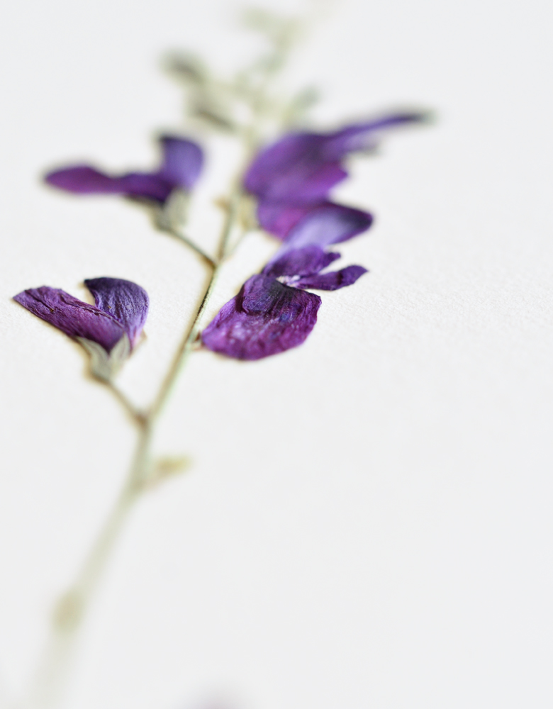 Herbier sauge - affiche A4 décorée d'une fleur de sauge • Herbier unique, création florale délicate / Créé dans le sud-ouest par 23janvier