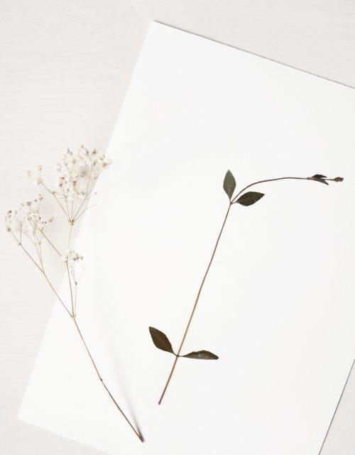 Herbier stellaire des sources - affiche A4 décorée d'une fleur sauvage • Herbier floral unique créé dans le sud-ouest par 23janvier