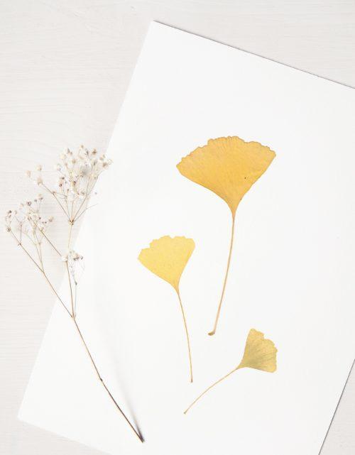 Herbier ginkgo - affiche A4 décorée de feuilles de Ginkgo biloba • Création naturelle, invitation à découvrir les détails subtils du monde végétal