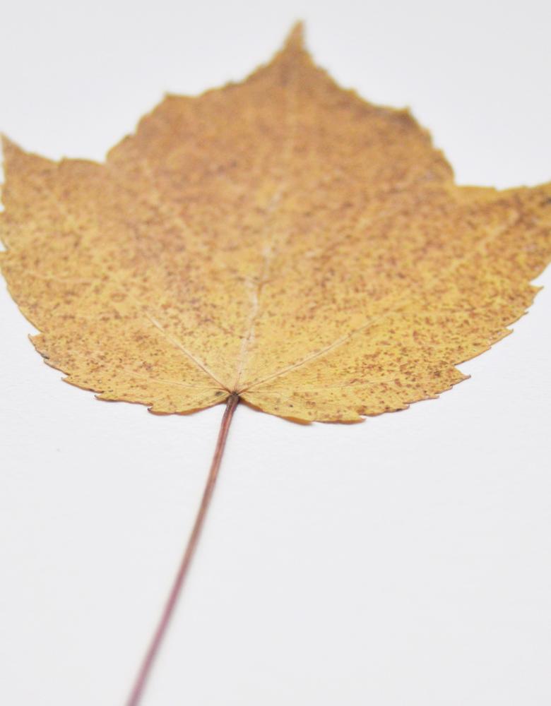 Herbier érable à épis (feuille) - carte décorée d'une feuille d'érable • Herbier automnal créé dans le sud-ouest par l'atelier 23janvier