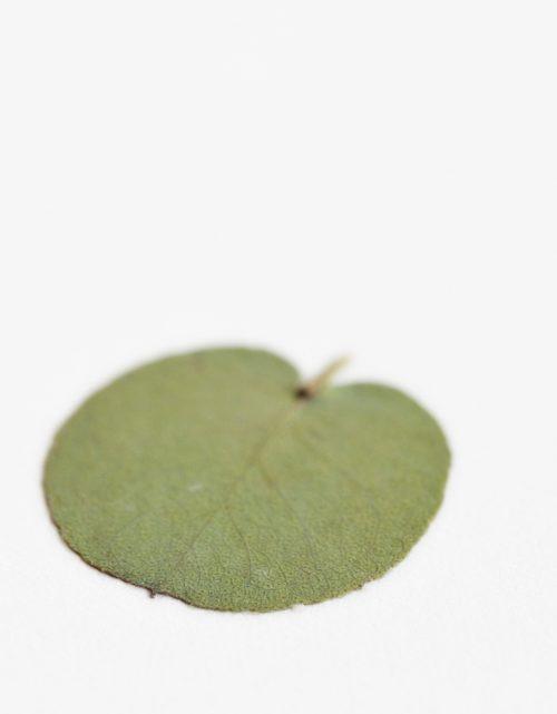 Herbier Eucalyptus - carte décorée d'une feuille séchée d'eucalyptus • Herbier unique, invitation à découvrir les détails du monde végétal