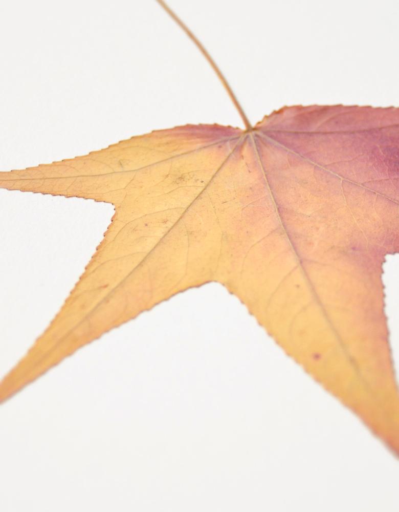Herbier Liquidambar - carte A6 décorée d'une feuille de liquidambar • Herbier unique, invitation à découvrir les feuillages flamboyants d'automne