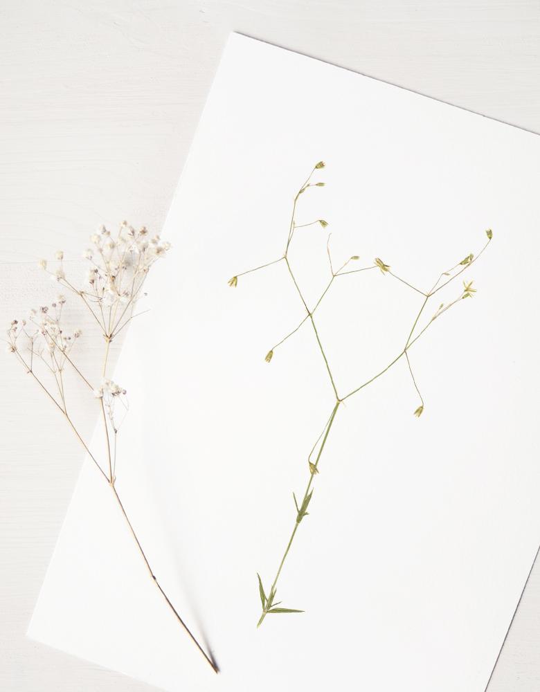 Herbier stellaire graminée - affiche A4 décorée d'une fleur sauvage • Herbier printanier, invitation à découvrir le monde végétal • 23janvier