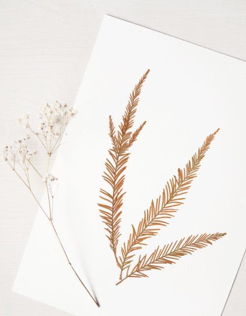 Herbier cyprès chauve - affiche A4 décorée de feuilles de Cyprès chauve • Herbier automnal de conifère créé par l'atelier 23janvier