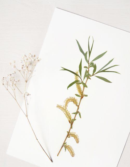 Herbier saule pleureur - affiche A4 • atelier 23janvier