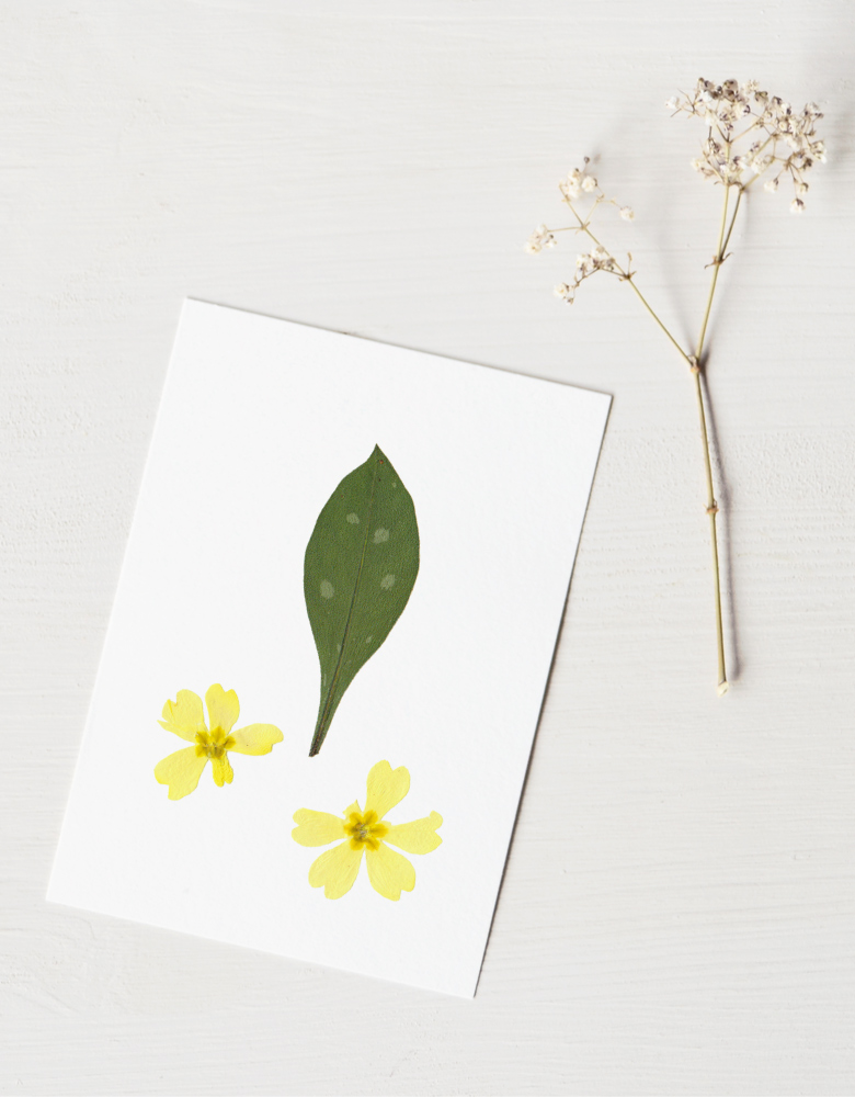Herbier Bouquet primevères - création naturelle • 23janvier