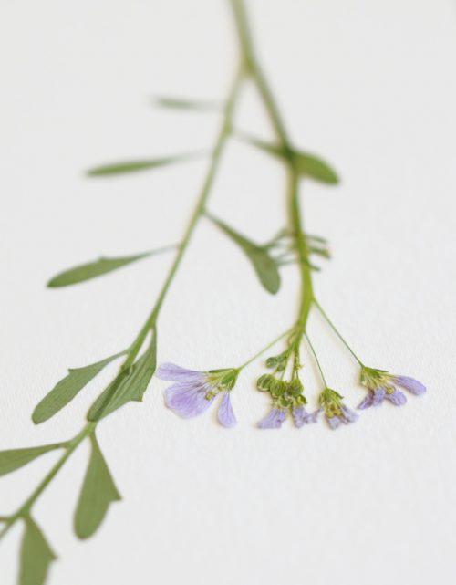 Herbier cardamine des prés - carte A6 • atelier 23janvier
