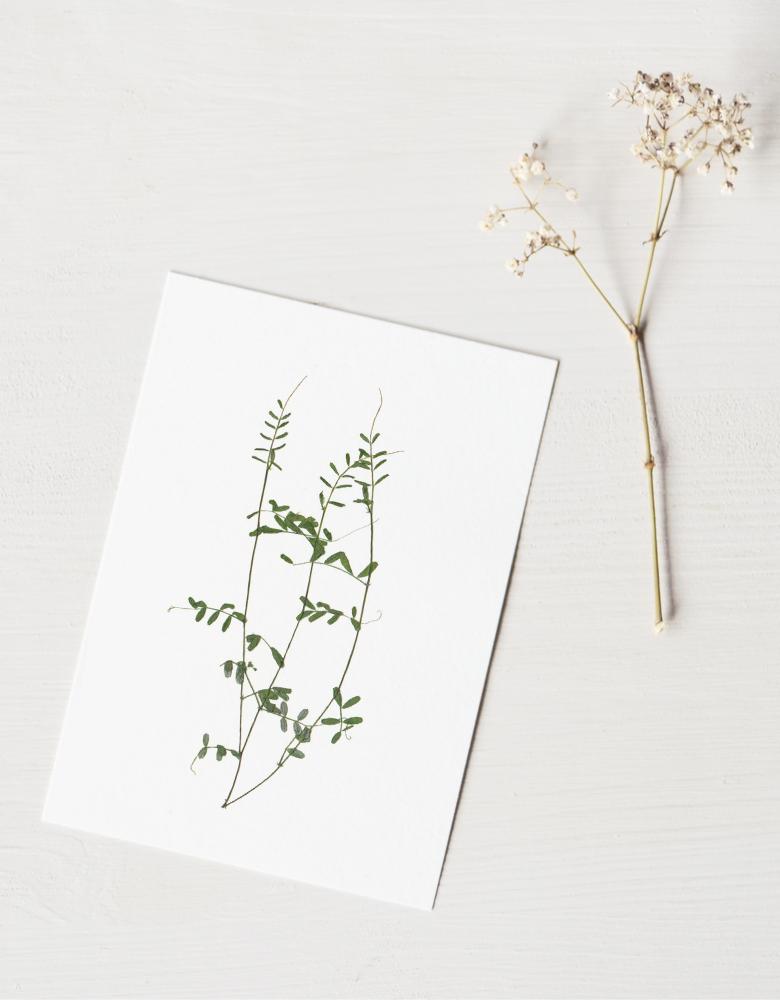 Herbier Vesce des haies - végétal éternel • 23janvier