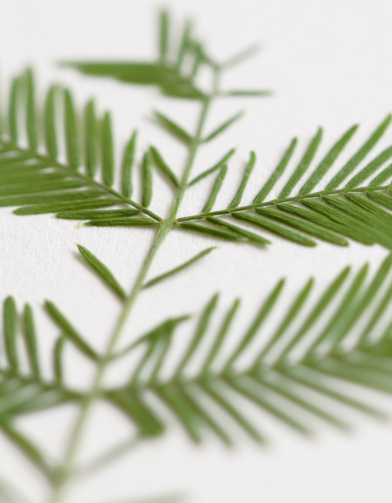 Herbier metasequoia → boutique en ligne 23janvier