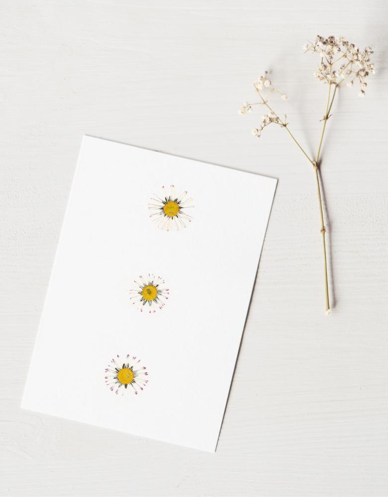 Herbier pâquerette (fleurs) - carte A6 décorée de fleurs de pâquerette → boutique en ligne 23janvier