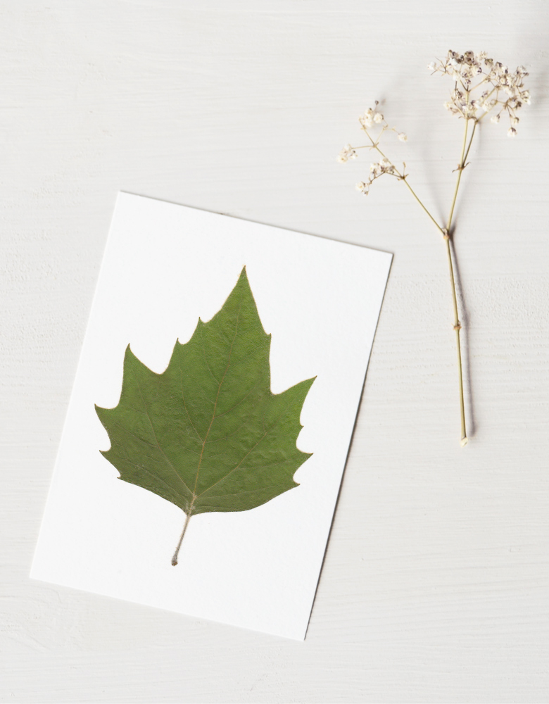 23janvier - Herbier platane - feuille séchée • décoration naturelle