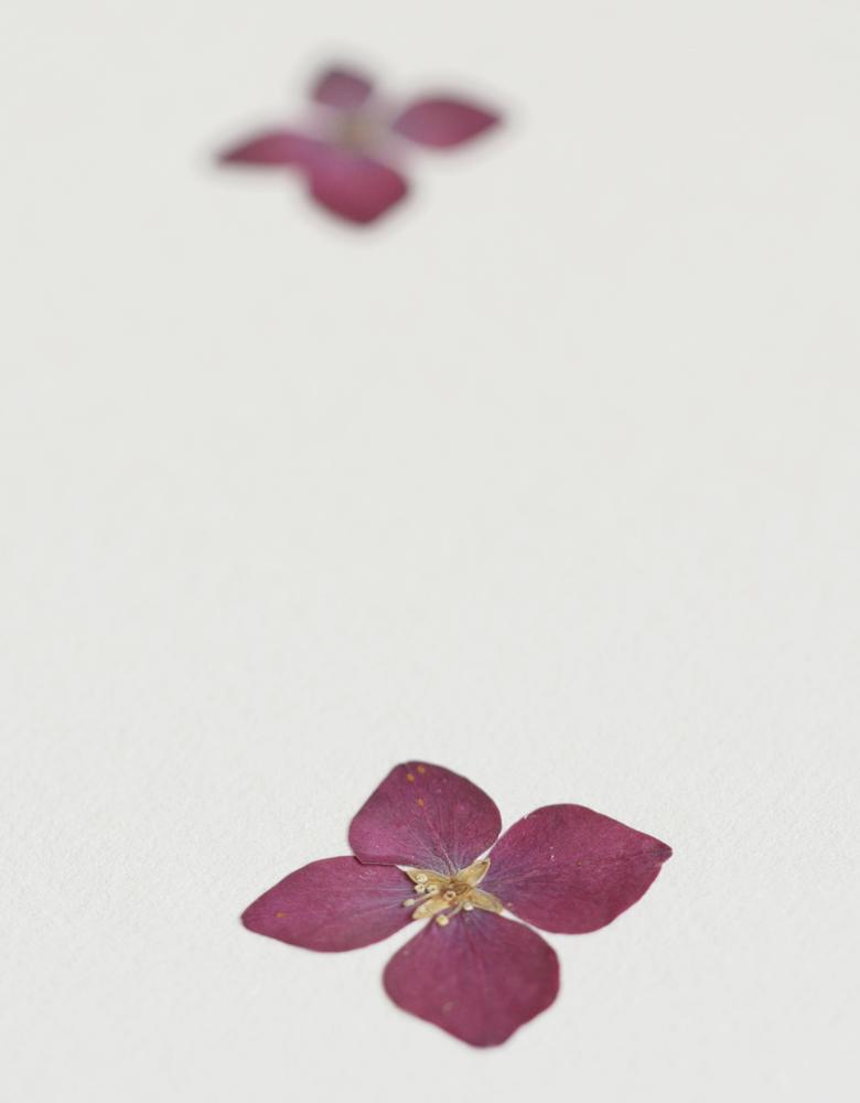 Herbier hortensia - affiche A4 décorée de fleurs d'hortensia roses