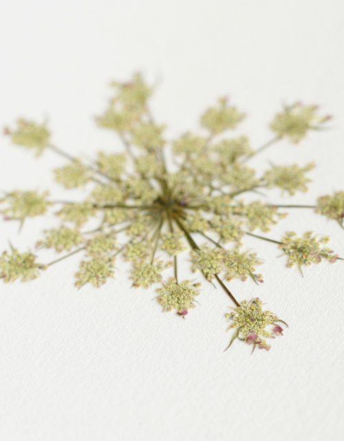 Herbier carotte sauvage - carte A6 • décoration nature