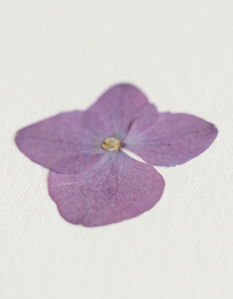 Herbier hortensia - carte A6 • fleur pressée avec soin